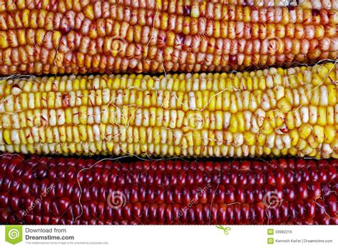 harvest colors ears of indian maize stock photo image of ears kernels