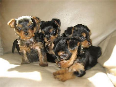 yorkie puppies for adoption in missouri purebred yorkie puppies re homing with small adoption fee for sale in poplar bluff