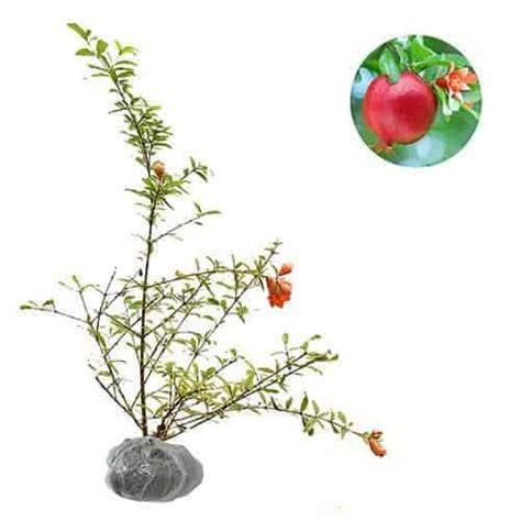 Tanaman Buah Delima Mini Siap Buah jual tanaman delima mini mini pomegranate bibit