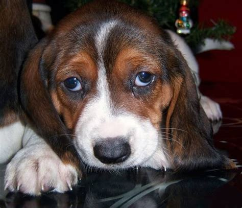 basset hound puppies houston basset hound puppies 713 825 4562 for sale adoption from houston harris adpost