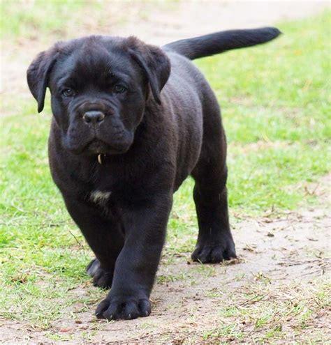 corso mastiff puppies corso or italian mastiff dogs breeds pets