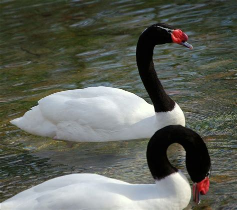 Black Necked Swan Wiktionary Black Swan Meaning