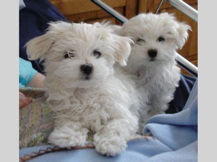 free puppies pa maltese puppies needs new homes in pennsylvania pa free picture to pin on
