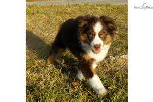 Red tri mini aussie maledog miniature australian shepherd puppy