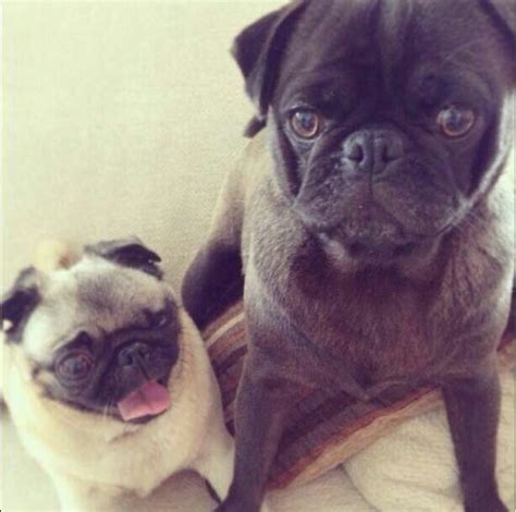 pewdiepie pug 19 best images about and edgar on the smalls for a reason and pumpkins