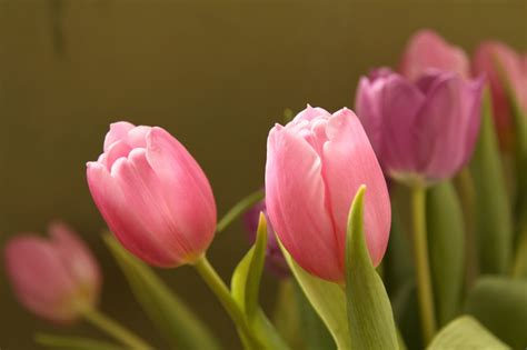 colors of tulips meanings of the different colors of tulips you weren t