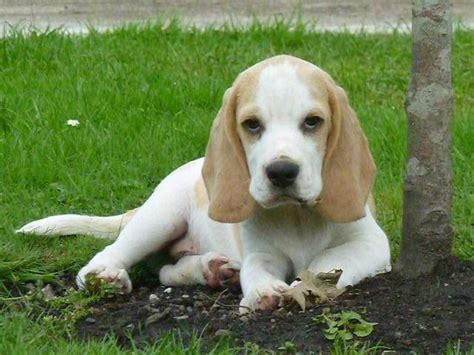 white beagle puppies top quality and white beagle show puppy neath neath port talbot pets4homes