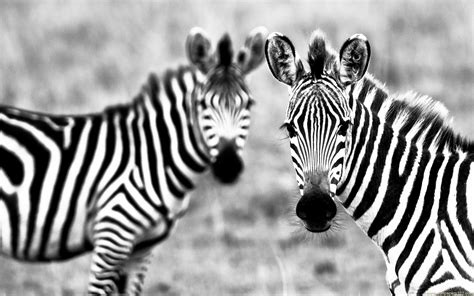 zebra wallpaper for pc zebra desktop wallpapers wallpaper cave