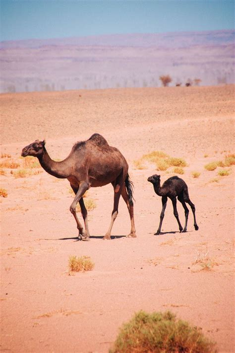 and baby baby camels www pixshark images galleries with a bite