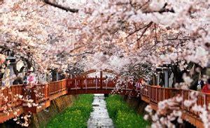 menawannya musim semi di korea selatan cheria