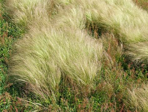 Grass Scientific Name by Ticklegrass Department Of Agriculture And Aquaculture