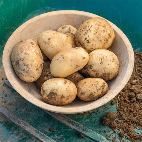 potato pentland javelin  early seed potato