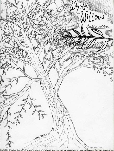 eucalyptus tree coloring page free coloring pages of eucalyptus tree