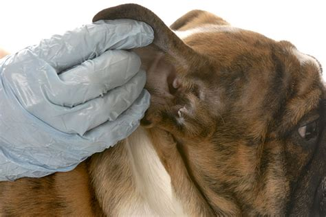 how to treat ear mites in dogs how to treat ear mites in dogs 171 laurelwood animal hospital