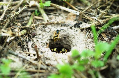Jaket Rabbit Yellow yellow jackets in ground yellow jackets nests pest