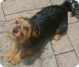 haired dorkie mixes dachshund yorkie mix