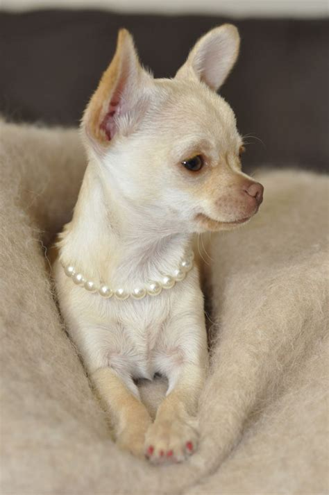 Precious Pets Cottage by Pin By Debbie Lunsford On Chihuahuas