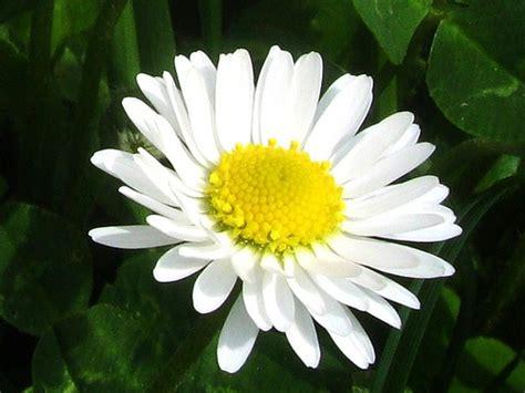 fiore margherita l italiano con i fiori e i pronomi relativi adgblog