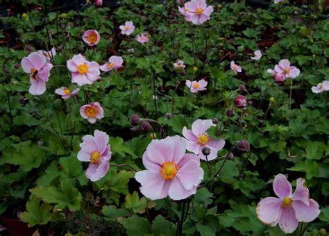 Anemone Megumi anemone hybrida perenner pink cups