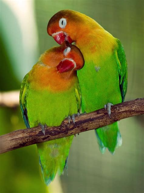 lovebirds beautiful small parrots that are native to