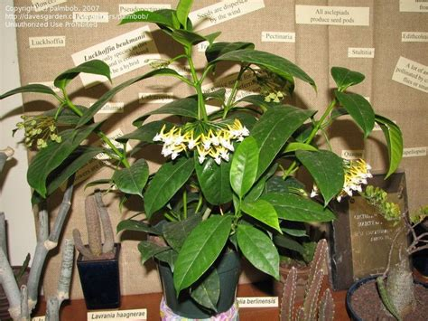 hoya house plants  sale  shooting star hoya