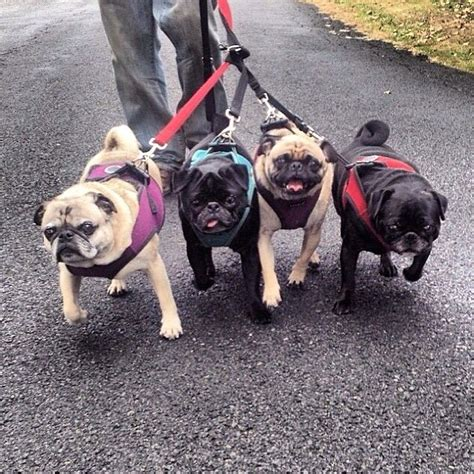 blk thndr pugs 17 best images about pugs on trotter dandelions and wolf