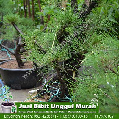 Beli Bibit Tanaman Stevia jual koleksi tanaman bonsai cemara agro bibit id