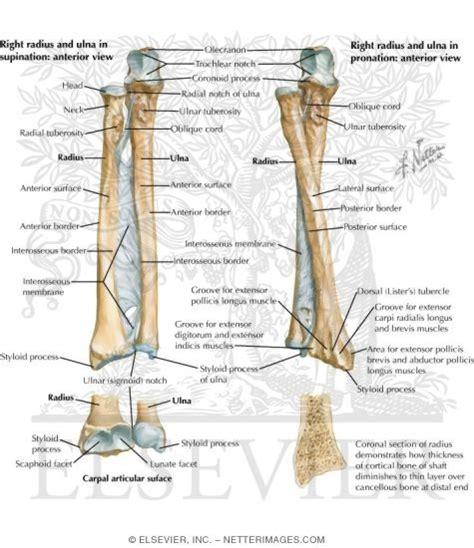 forearm bones diagram human anatomy the human arm bones anatomy arm bones