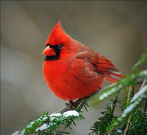 animals world cardinal birds