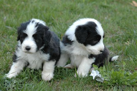 bearded collie puppy two bearded collie puppies photo and wallpaper beautiful two bearded collie