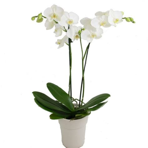 phalaenopsis white moth orchid complete  classic