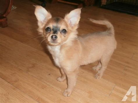 pomeranian cross papillon puppies for sale papillon pomeranian chihuahua mix hairstylegalleries