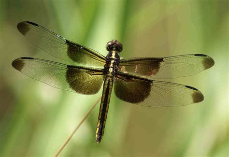 dragonflies images dragonfly hd wallpaper and background