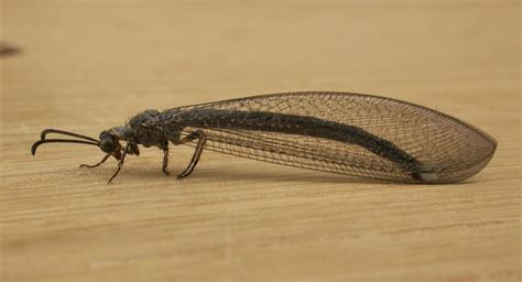 doodlebug insect facts antlion types of insects