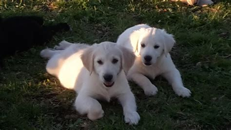 golden retriever border collie puppies for sale golden retriever x border collie info golden retriever x border collie liss hshire