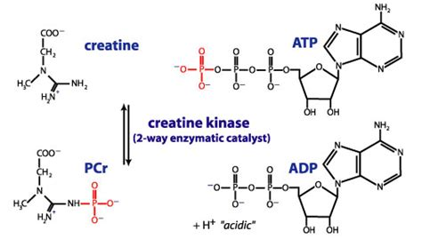 creatine reaction creatine reactions creatine information center