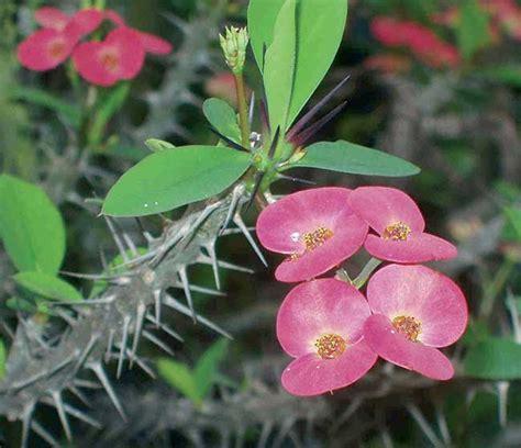 piante grasse con i fiori piante grasse con fiori coltivazione rinvaso e talea