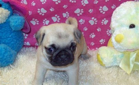 pug puppies for sale plymouth favorite puppy pug puppies for adoption plymouth dogs for sale puppies for sale