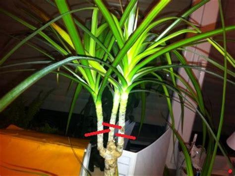 garten yucca braune flecken dracaena marginata l 228 sst die k 246 pfe h 228 ngen