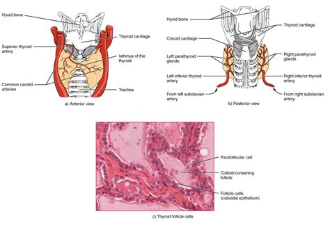 thyroid gland diagram neck diagram thyroid gallery how to guide and refrence