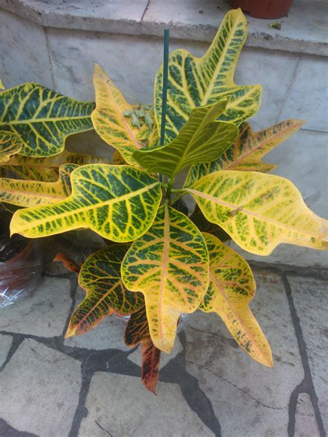 croton plant care tips growing planting cutting