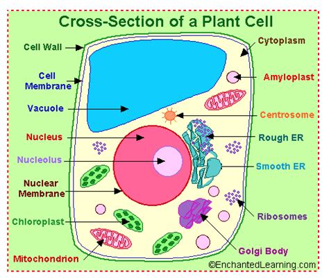 plant cell coloring coloring page plant cell coloring pages for free