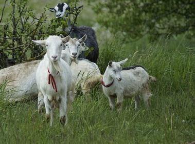Starbio Ternak Kambing bahan fermentasi pakan kambing peternakan