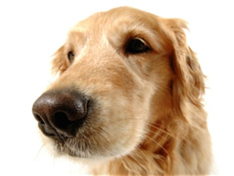 why do golden retrievers seizures detection dogs new applications for saving canines smart animal