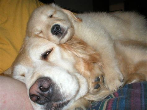 golden acres golden retrievers stellar acres golden retrievers puppies for sale