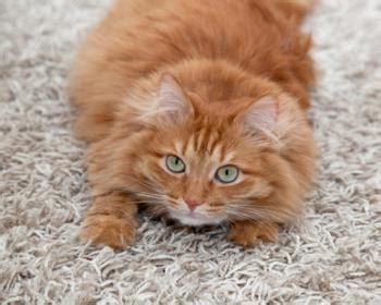 why is my cat on the rug how to easily trim your cat s nails