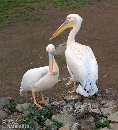 Vigel Pelicin pelecanus onocrotalus pictures great white pelican images