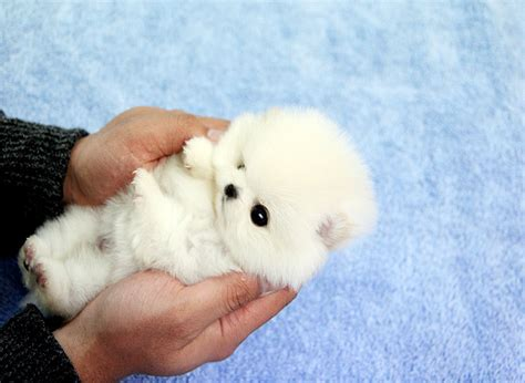 how big are teacup pomeranians adorable teacup pomeranian name tiny tiny is flickr