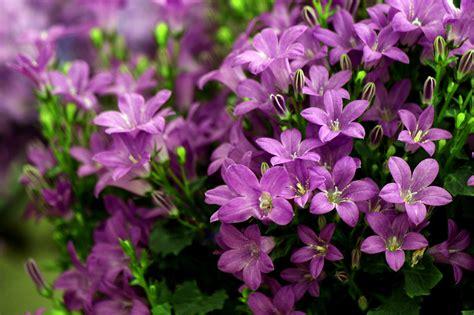 Campanulas Purple Get Mee White Wonder Flowers Rocket Farms