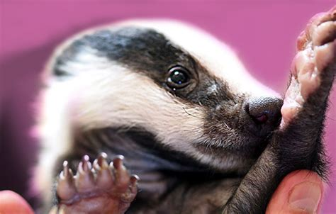 badger cull petition sign our petition to end the badger cull